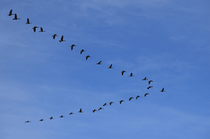 migratingbirds